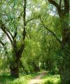 im Naturschutzgebiet_Silberweiden-Allee bei Dornberg